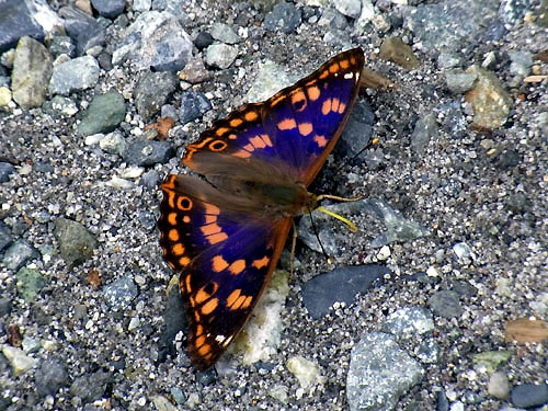 A Komurasaki Butterfly on the Bank of a River
