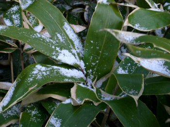 Snow Collecting on Some Sasa (Bamboo Grass Leaves)
